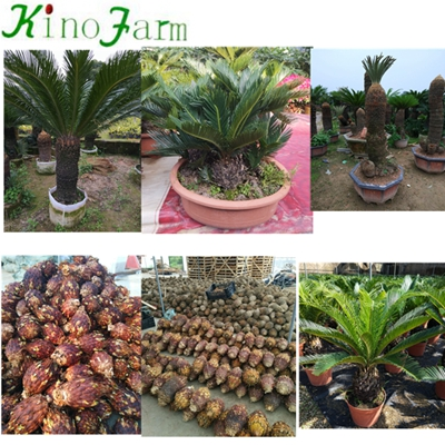 Wholesale Bare Root Cycas