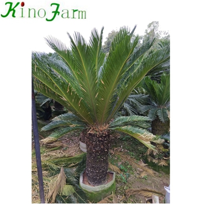 Natural Plant Sago Palm Cycas Plant