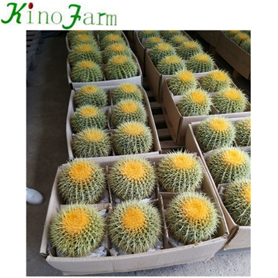 Natural Plant Ungrafted Cactus