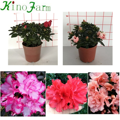 Natural Plant Indoor Plant Rhododendron simsii Planch