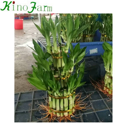 Indoor Plant Lucky Bamboo Stalks