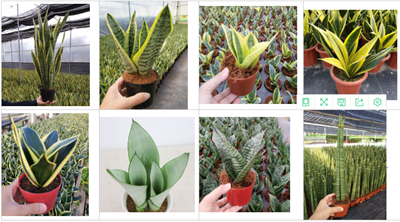 Wholesale Sansevieria Futura Superba