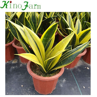 Whosales China Sansevieria Nursery