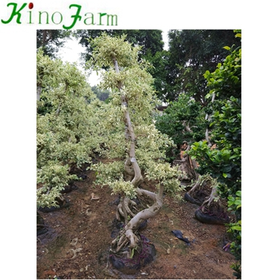 Natural Plant Outdoor Ficus Tree