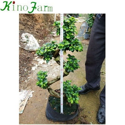 Natural Plant S Shape Bonsai Tree