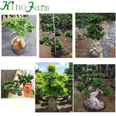 Natural Plant Ficus Microcarpa Water Shape Ficus Bonsai