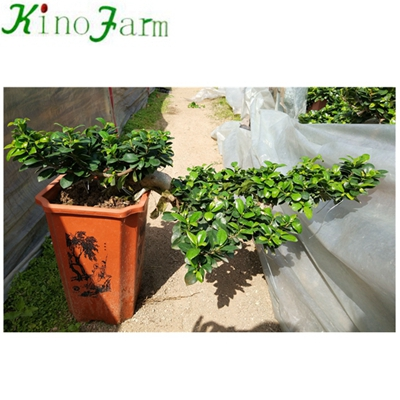 Natural Plant Ficus Microcarpa Bonsai Trees