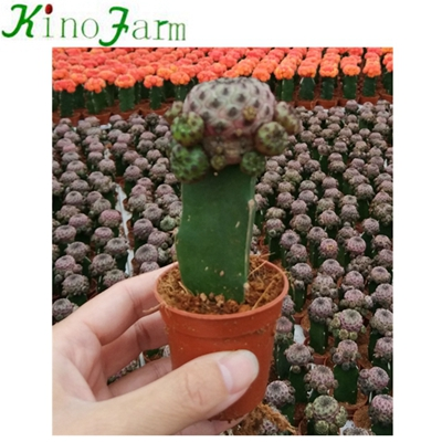 Natural Plant Flowering Grafted Cactus