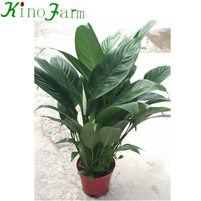 Natural Plant Indoor Peace Lily Plant