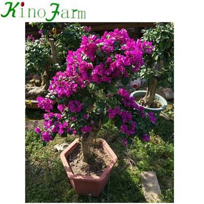 Outdoor Bougainvillea Plants For Sale