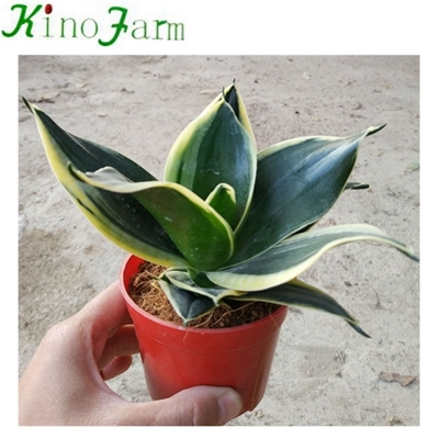 mini sansevieria indoor plants