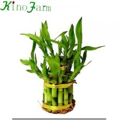 Live Water Bamboo Plants