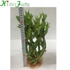 Indoor miniature bamboo plants