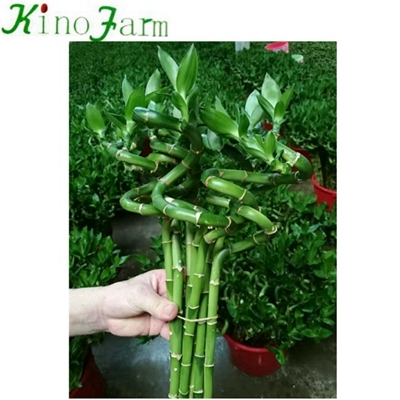 braided lucky bamboo plant