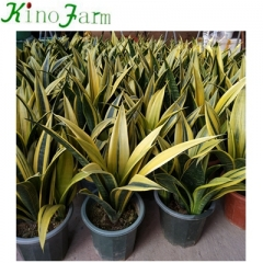 Wholesale Golden sansevieria trifasciata