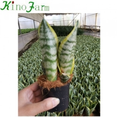 Small Perennial Snake Plant
