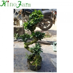 bonsai plants for sale