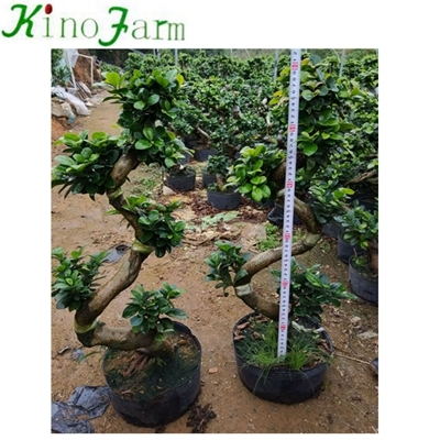 S Shape Microcarpa Ficus Bonsai