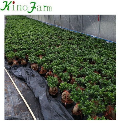 wholesale bonsai ficus