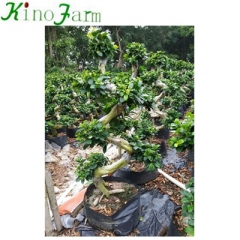 Ficus Bonsai Supplies