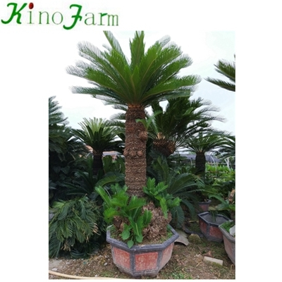 cycad indoor plant