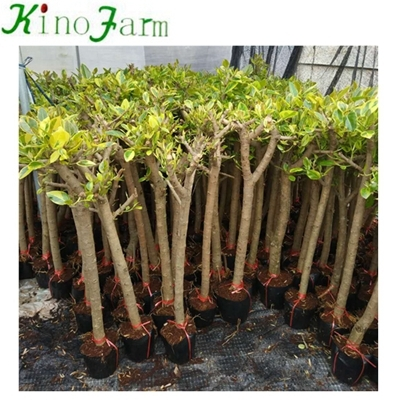 home decor plant ficus benjamina