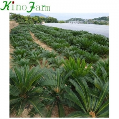 sago palm for sale