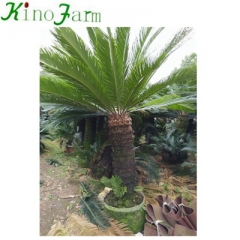 big sago palm