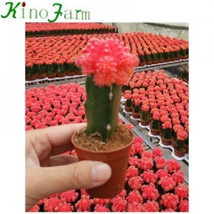 grafted cactus plants