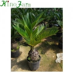 cycas revoluta for sale