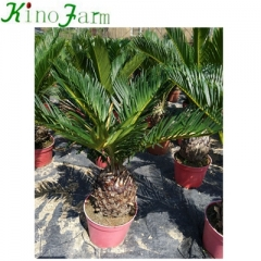 sago palm varieties