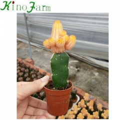 little grafted cactus plants