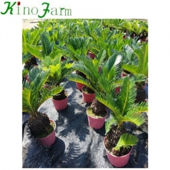 Sago Palm Cycad Tree Kinofarm