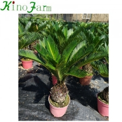 cycas ornamental plants