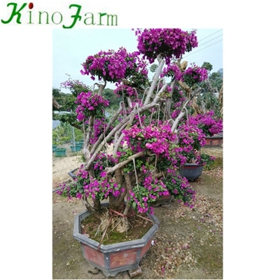 Bonsai Bougainvillea Tree