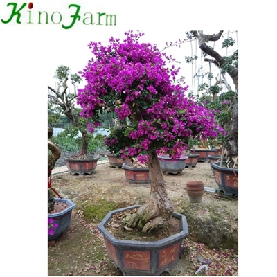 Bonsai Bougainvillea Colors