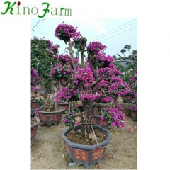 Outdoor Plant Bonsai Bougainvillea