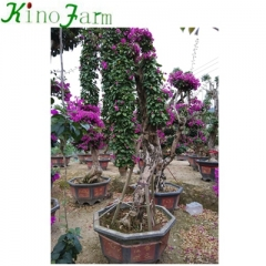 Outdoor Bonsai Bougainvillea Plant Kinofarm