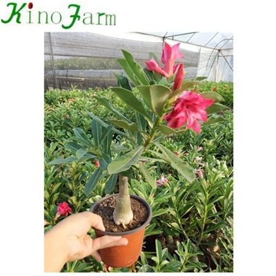 Adenium Desert Rose Bonsai