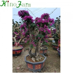 Outdoor Plant Bougainvillea